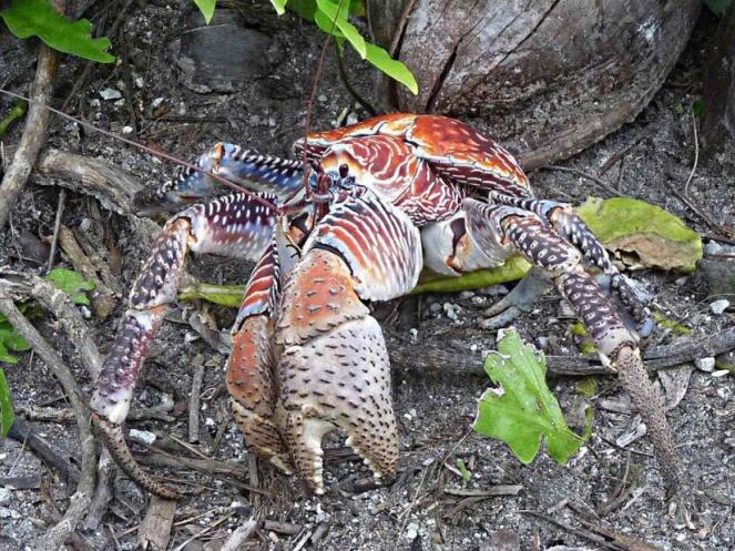 1024px-coconut_crab
