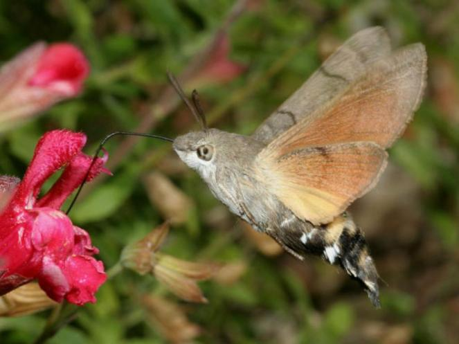 humming-bird_hawk-moth_1984_dave_green-web