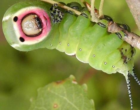 puss_moth6